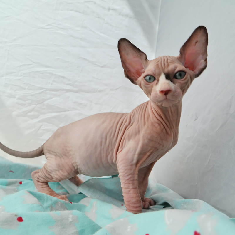 The Sphynxs Meow-A Bare Meow - Sphynx kittens for sale New